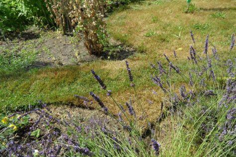 Schwalbenschwanz am Lavendel 3
