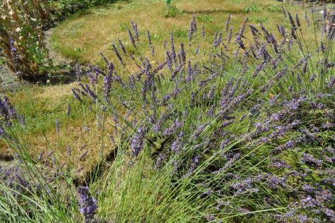 Schwalbenschwanz am Lavendel 6