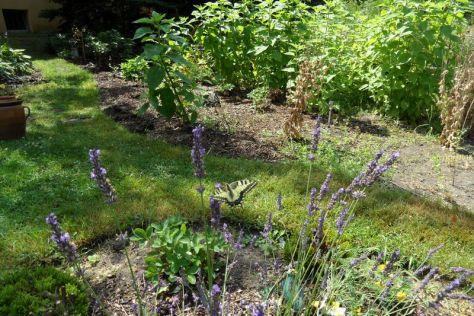 Schwalbenschwanz am Lavendel 8