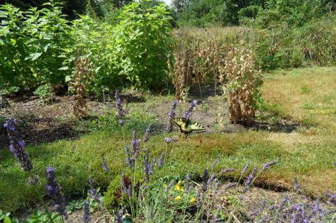 Schwalbenschwanz am Lavendel 12