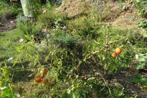 """Tomate """"Black Krim"""" Herbstanfang 2016"""