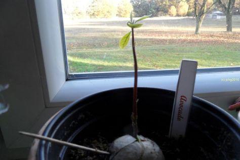 Avocadobaum am 06.11.2016