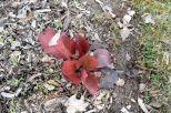 Rote Blätter von etwas Unbekanntem am 09.03.2017
