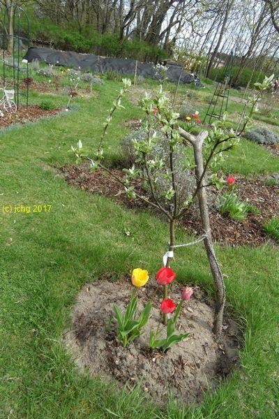 Apfelquitte und Tulpen am 15.04.2017