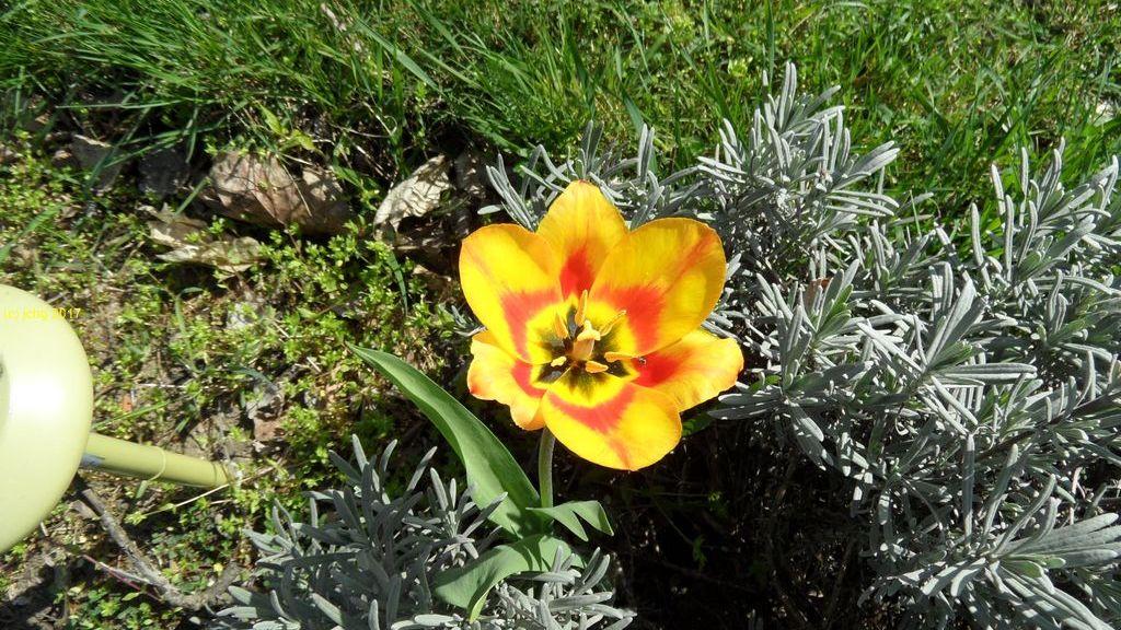 Tulpe und Lavendel