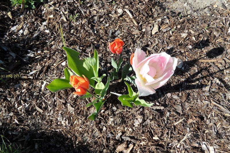 Tulpenblüten am 30.04.2017