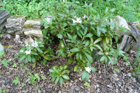 "Rhodoendron blüht im Beet ""Mohrchen"" am 07.05.2017"