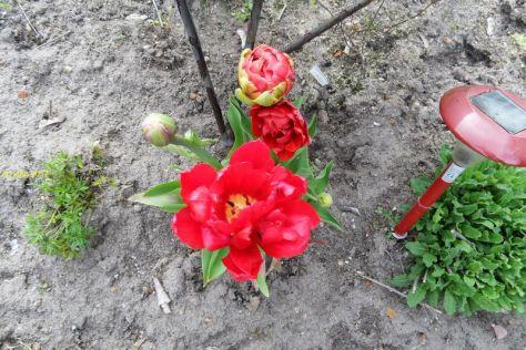 Weitere Tulpen am 07.05.2017