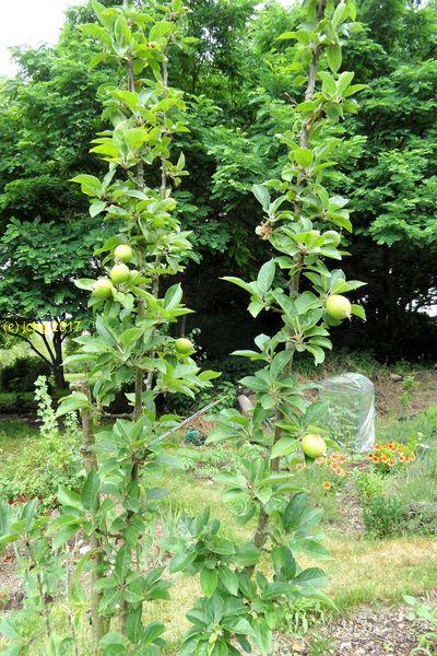 """Äpfel am Apfelbaum im Beet """"Boskop"""" am 25.06.2017"""