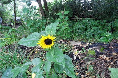 """Sonnenblume und Baumspinat auf dem Beet """"Kurt"""" am 24.09.2017"""