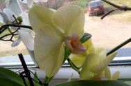 Gelbe Orchideenblüte am 10.02.2018