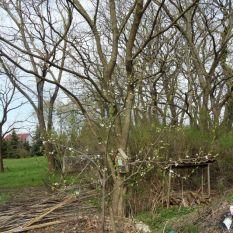 Der Pflaumenbaum blüht am 15.04.2018