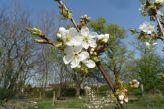 Kirschblüten am 19.04.2018