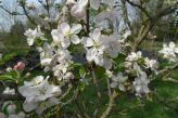 Apfelblüten am 22.04.2018