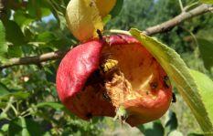 Eine Hornisse in einem Apfel am 19.08.2018