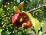 Zweite Hornisse in einem Apfel am 19.08.2018