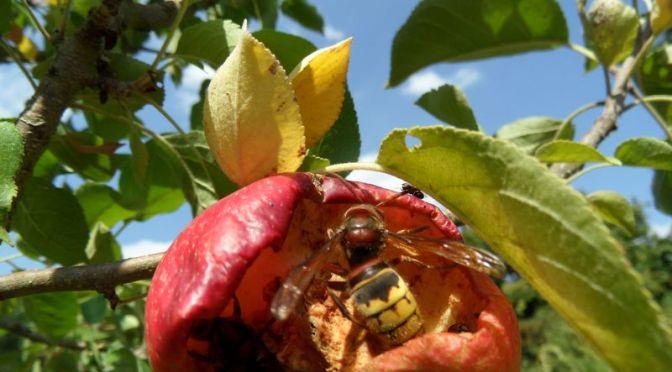 Apfel schmeckt den Hornissen