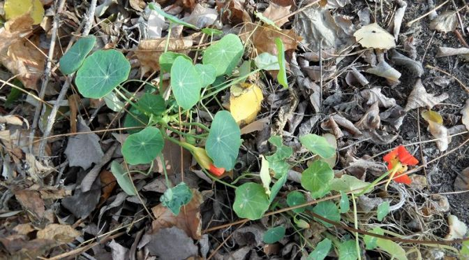 Kapuzinerkresse Mitte November