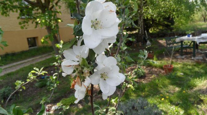 Blüten vom Duobaum Gravensteiner und Zuccalmaglio Renette 01.05.2019