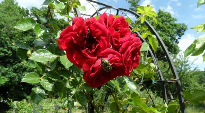 Rose im Beet Christian mit Käfer am 13.06.2019