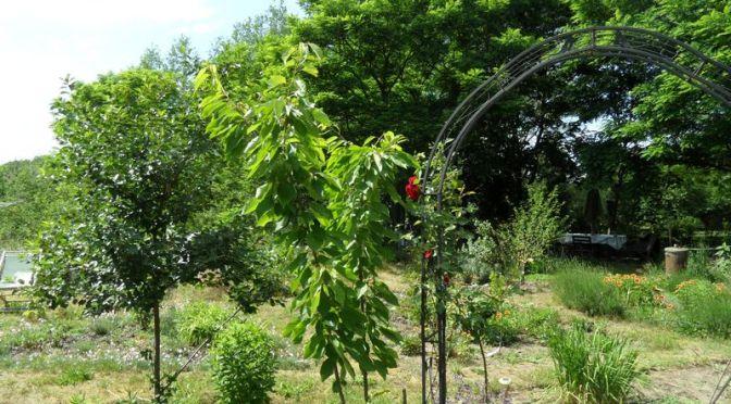 Kirschbäume ohne Kirschen