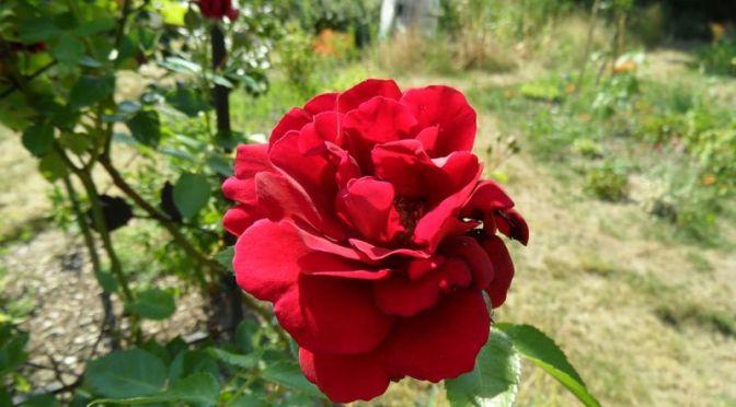 Rosenblüte Juli 2019