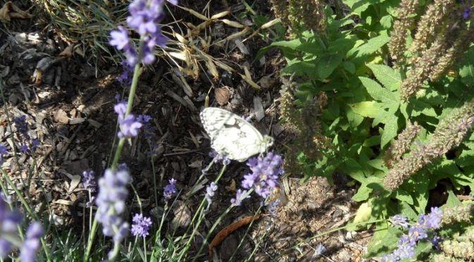 Schachbrett am Lavendel