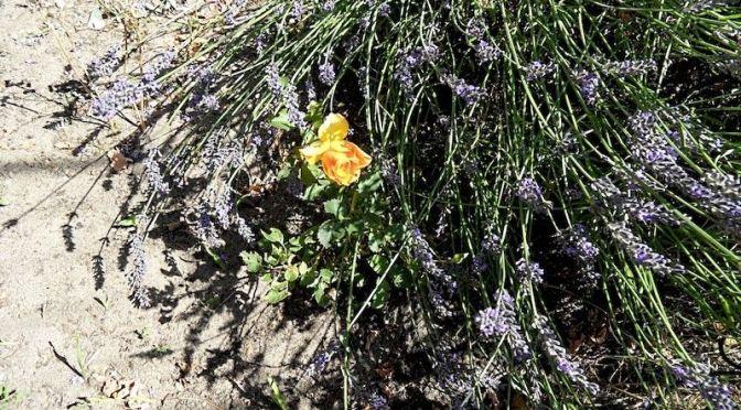 """Rose und Lavendel blühen Beet """"Sternmagnolie"""" 30.7.20"""