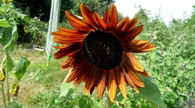 Rote Sonnenblumenblüte und Hummel 16.8.15