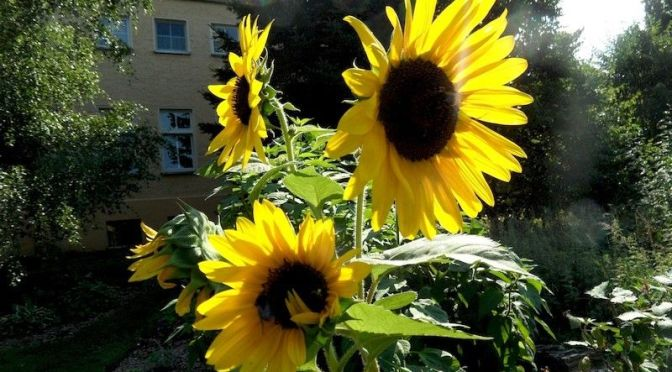 Sonnenblumen und Baumspinat