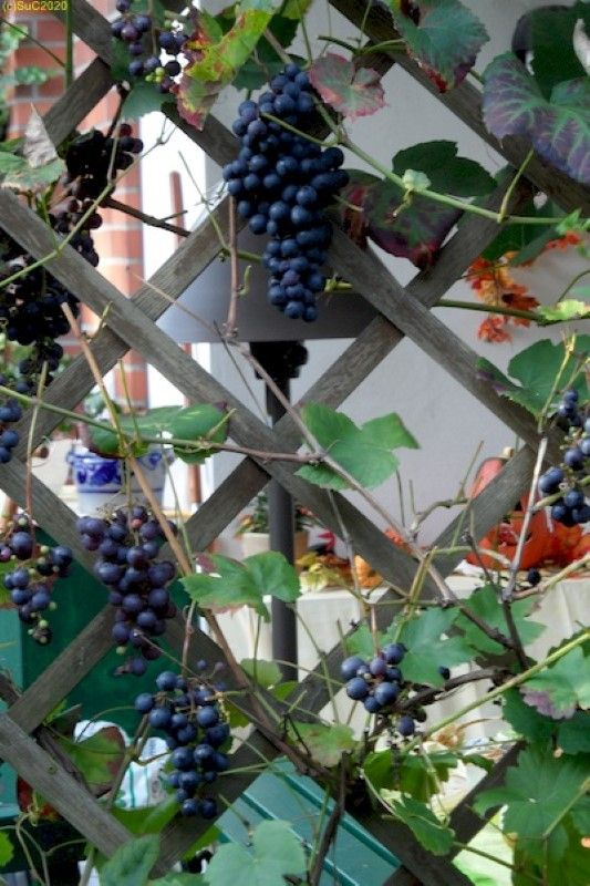 Trauben unseres Rotweins im Garten in Finkenkrug September 2011