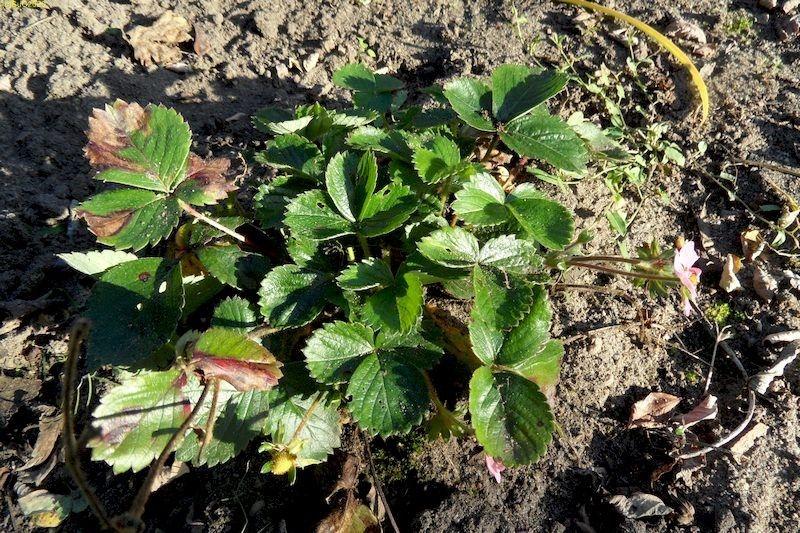 """Erdbeere m Beet """"Erdbeere"""" 27.9.14"""