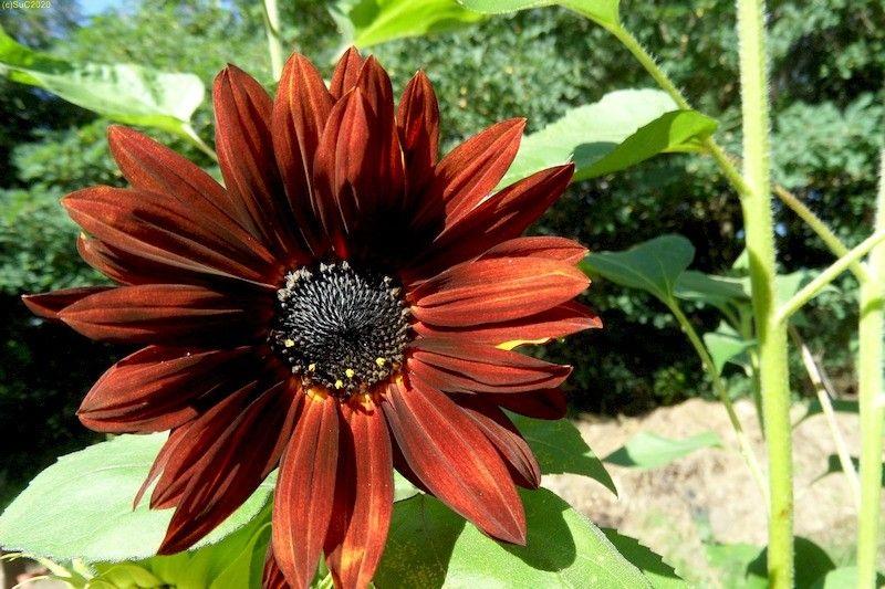 Sonnenblumen September 2015 Diashow 14