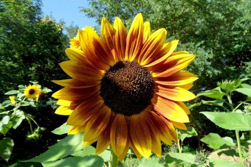 Sonnenblumen September 2015 Diashow 13