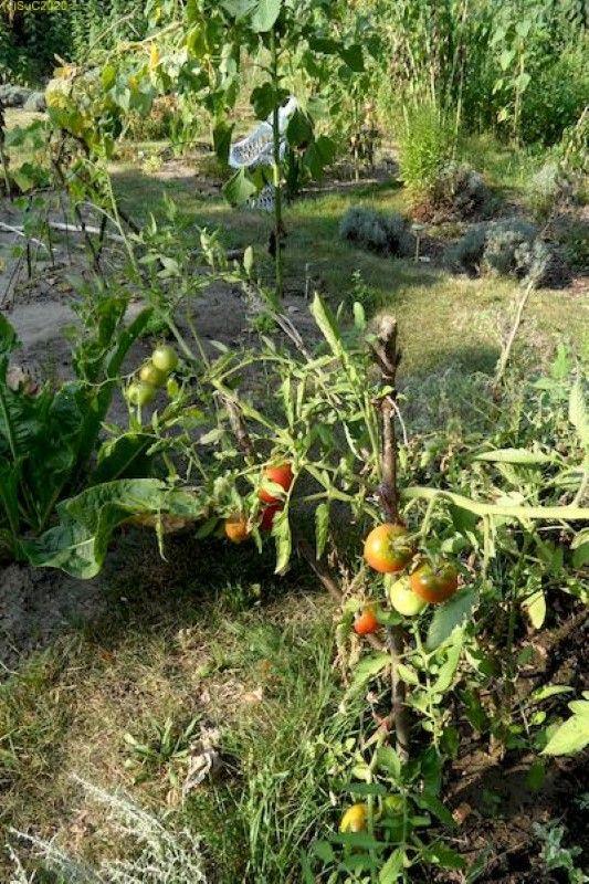 Tomaten 12.9.16