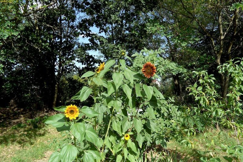 """Rot blühende Sonnenblume und andere Sonnenblumen im Beet """"Jostabeere"""" 17.9.20"""