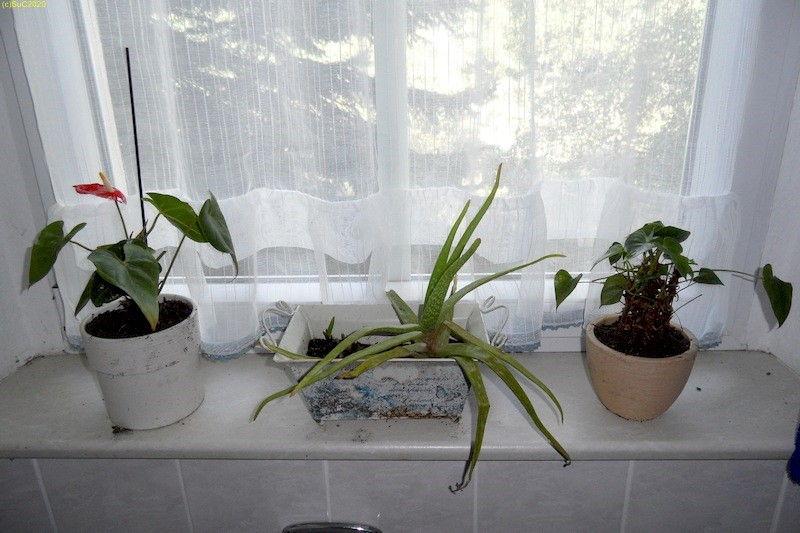 Aloe Vera und Flamingoblumen im Winterquartier im Bad 17.9.20
