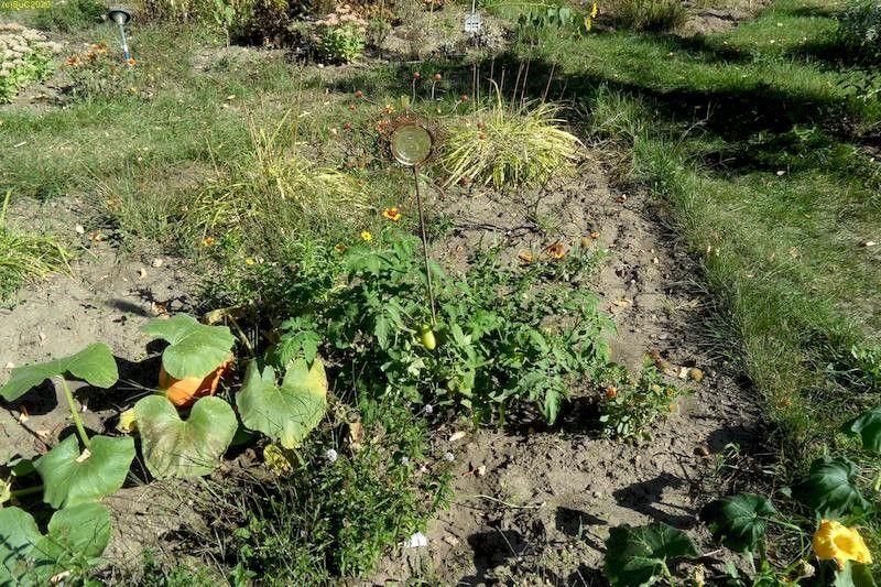 """Minze, Tomaten, Kürbis (dieser hat Frostschäden) Beet """"Iris"""" 18.9.20"""