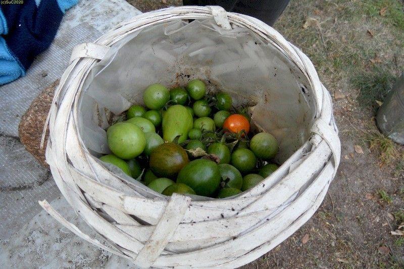 Tomaten abgenommen 24.9.20