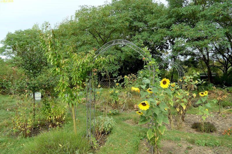 Sonnenblumen im Herbst 2020