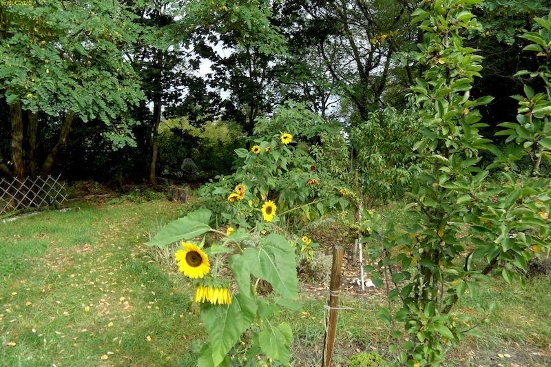 """Sonnenblumen im Beet """"Jostabeere"""" am Anfang des Herbstes 2020"""