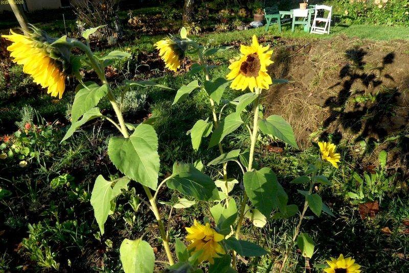 Sonnenblumen blühen 42, Kalenderwoche 2014