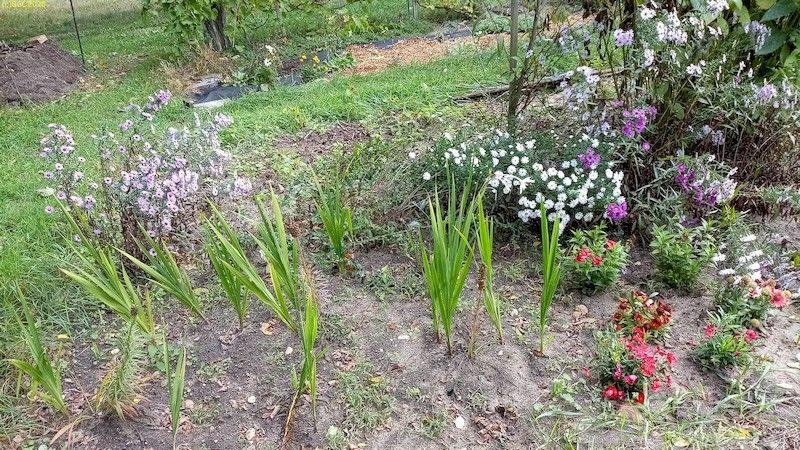 "Blumen im Herbst Beet ""Mangold "" 10.10.20"
