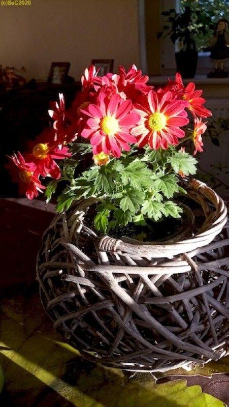 Chrysantheme im Wohnzimmer 11.10.20