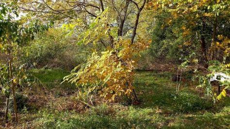 """lNoch einmal der Walnussbaum Beet """"Erwin"""" Oktober 2020"""