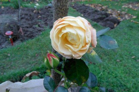 Eine weitee Rose blüht im November 2014