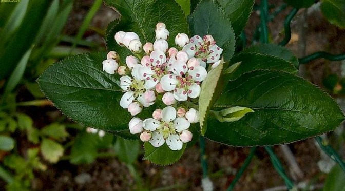 Apfelbeerenblüte 15.5.21