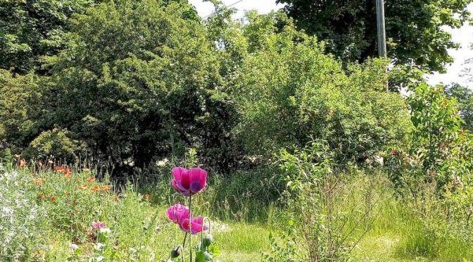 Mohnblumen, Forsythien, wilde Rosen, Weißdorn 8.6.21