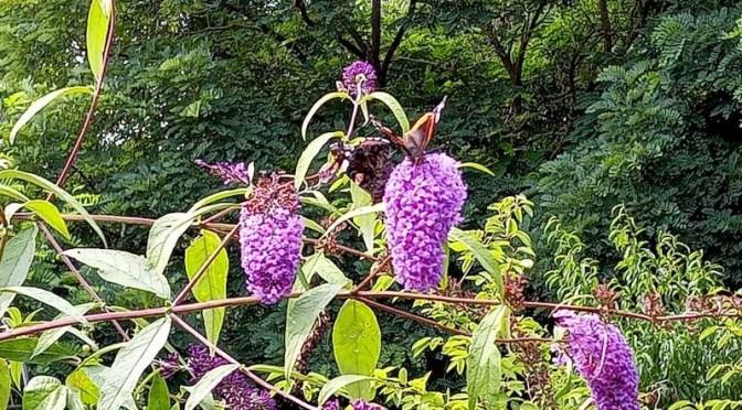 Schmetterlinge und Rosmarin