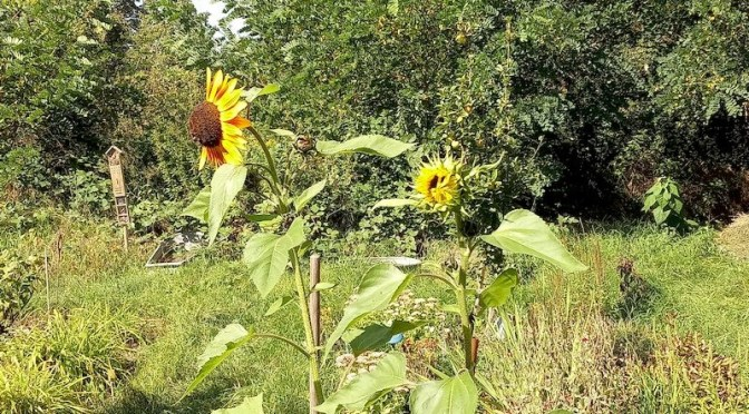"Sonnenblumen Beet ""Meerrettich"" 9.9.21"